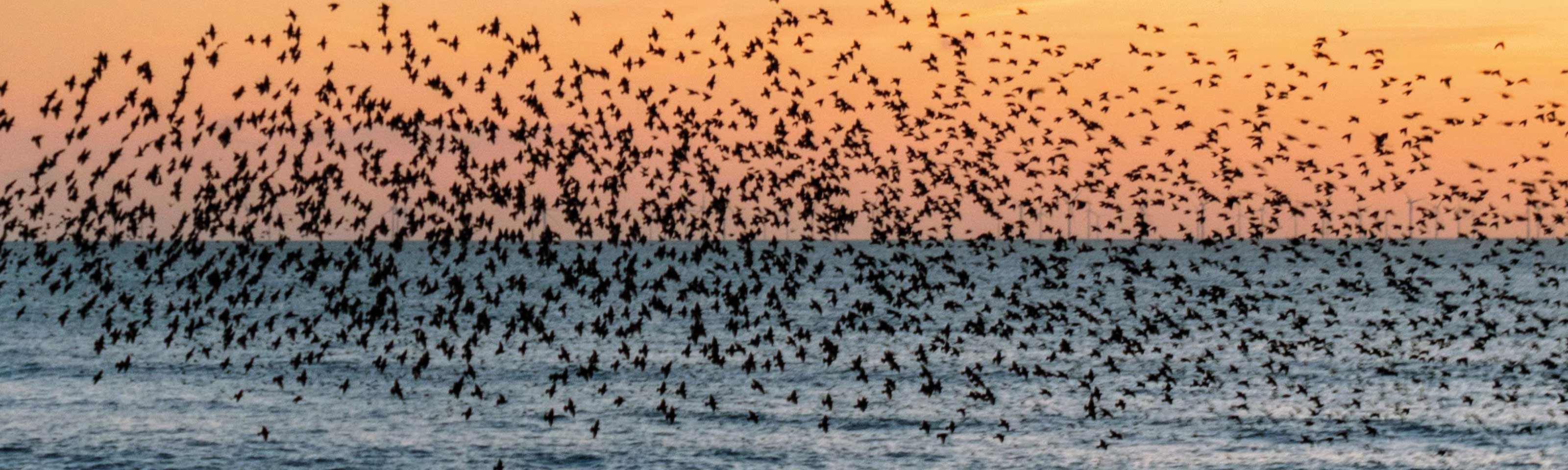 Murmuration of starlings over Brighton pier