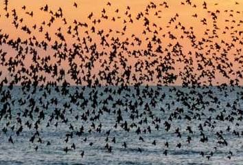 Murmuration of starlings over Brighton pier