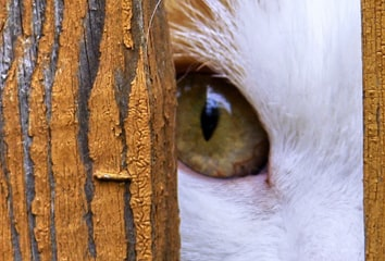 Eye of a cat looking through a gap in a fence.