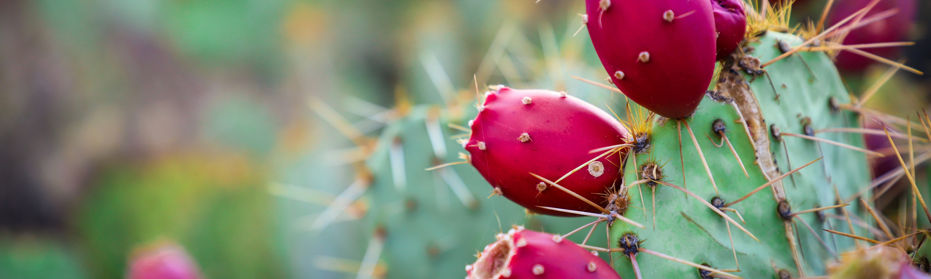 Photograph of a prickly pear cactus, whose sharp thorns guard a succulent fruit.