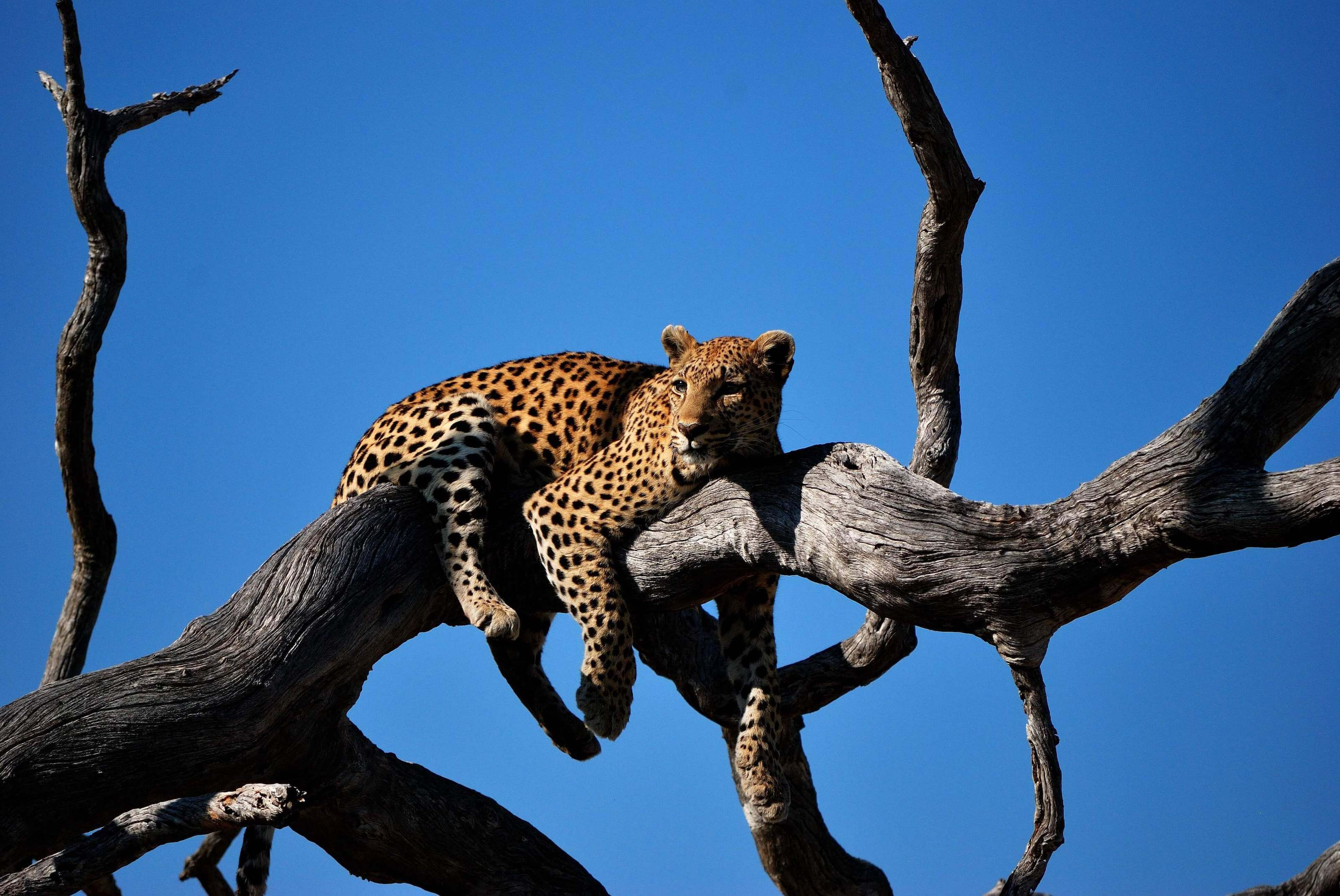 A lazy leopard relaxing on a tree