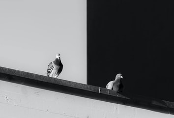 Pigeons on a wall with a sharp black and white contrast in the background.