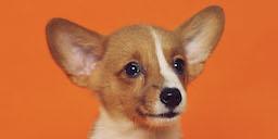 Photo of a dog on an orange background